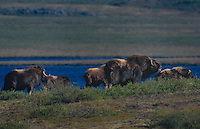 660752016 a herd of wild musk ox ovibus moschatus forage along a permafrosted hillside in the northwest territories of canada