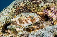 Ballonfish, Diondon holocanthus, Bonaire, Netherland Antilles, Netherlands, Caribbean Sea, Atlantic Ocean