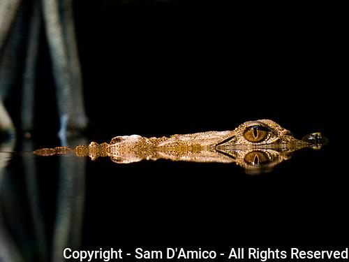 Australian freshwater crocodile in water