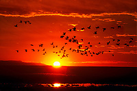 537296012 a flock of wild snow geese chen caerulescens takes flight at sunrise from ponds at bosque del apache national wildlife refuge in new mexico united states