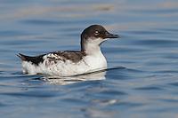 Pigeon Guillemot - Cepphus columba - juvenile