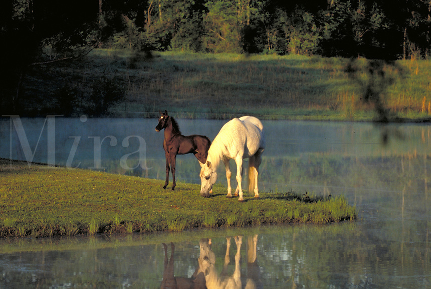 Arabian mare grazing by pond with foal at side. Serenity, love, safety, innocence, peace. special effects, horse, horses, animals, pasture. Alabama, Smith.