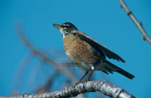 American Robin, Turdus migratorius, male on Chinaberry Tree (Melia azedarach), Lake Corpus Christi, Texas, USA, March 2003