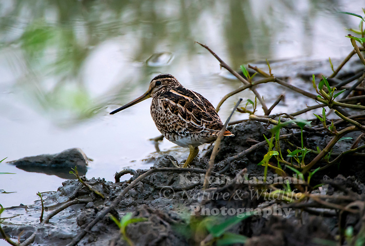 Pin-tailed snipe or pintail snipe (Gallinago stenura) is a species of bird in the family Scolopacidae, the sandpipers.