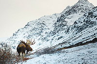 Bull moose feeds on willows with fresh snow. Chugach Mountains in Chugach State Park. Glenn Alps area of Anchorage, Alaska  November 2016<br /> <br /> Photo by Jeff Schultz/SchultzPhoto.com  (C) 2016  ALL RIGHTS RESVERVED