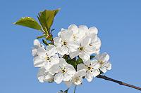 """Sauerkirsche, Weichselkirsche, Sauer-Kirsche, Kirsche, Schattenmorelle, Morelle, Blüten, Blüte, Obstbaum, Prunus cerasus, Kulturform """"Vowi"""", sour cherry"""