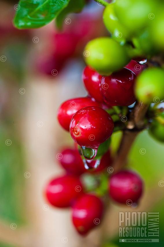 Rain-drenched coffee cherries at a coffee plantation on Kona, Big Island