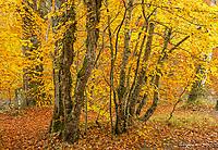Beech Trees in Autumn, Invermoriston, Scotland