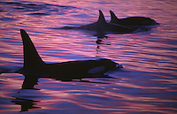 Killer whales, Orcinus orca, group surfacing at dusk, Tysjord, Arctic Norway, North Atlantic