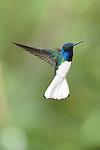"""""""Nacen de los árboles, del cielo y de cada gota de lluvia, dibujando aromas de amor e infancia.<br /> <br /> Tus versos desnudos visten el bosque allá por donde pasa la poesía escrita en tu mirada"""".<br /> <br /> Los bosques del jacobino / colibríes de Panamá.<br /> <br /> Jacobino Nuquiblanco.<br /> <br /> White-necked Jacobin.<br /> <br /> Florisuga mellivora.<br /> <br /> EDICIÓN LIMITADA / LIMITED EDITION (25)"""
