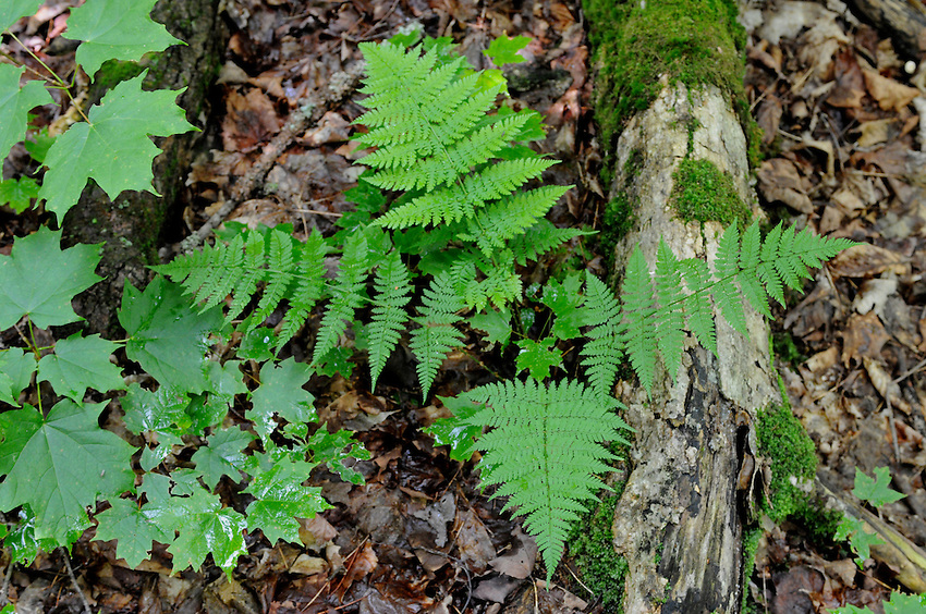 Ferns and Maple Leaves, Forest floor, Algonquin Park, Ontario, Canada
