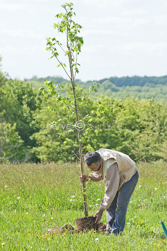 plantation d'un arbre (liquidambar styraciflua) élevé en container  // Plantation of a tree (liquidambar styraciflua)