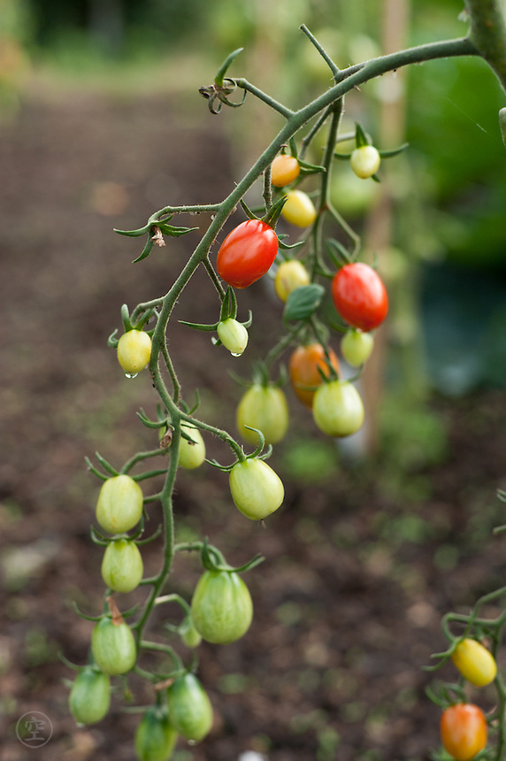 Plum tomatoes ripening in an organic allotment garden.