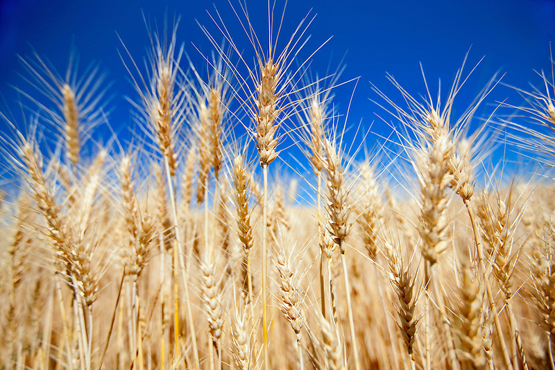 Close up of wheat. The Palouse, Washington