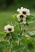 """Schwarzes Bilsenkraut, Bilsen-Kraut, """"Hexenkraut"""", Hyoscyamus niger, henbane, stinking nightshade, black henbane, Nachtschattengewächse, Solanaceae, nightshades"""