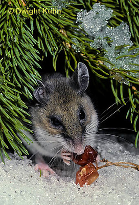 MU12-140z   Deer Mouse - eating berries - Peromyscus maniculatus