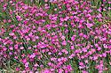 Maiden pink (Dianthus deltoides), mid June.