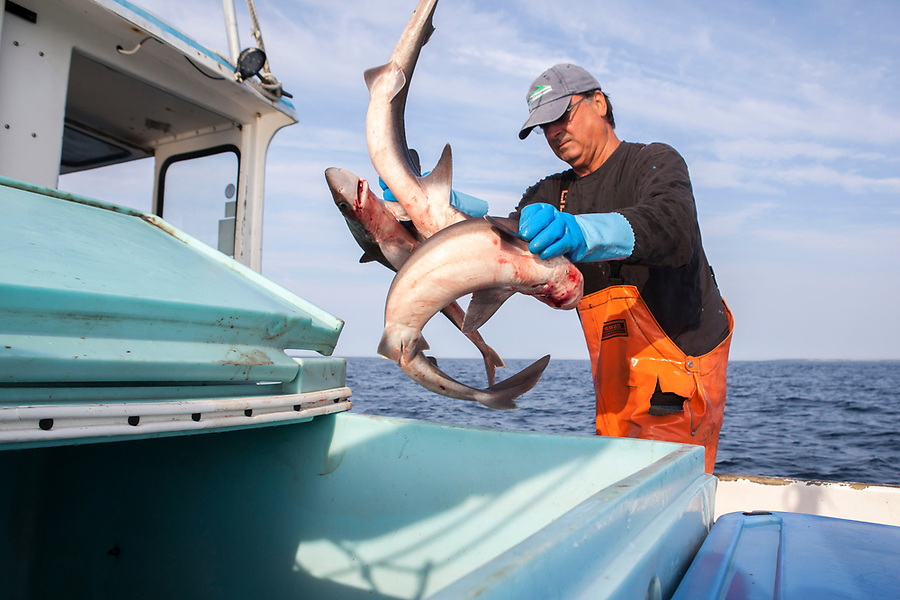 A fisherman throws dog fish into a container.