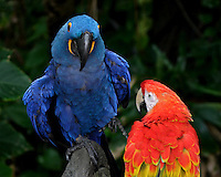 Blue-and-Yellow Macaw (Ara ararauna), also known as the Blue-and-Gold Macaw, is a member of the group of large Neotropical parrots known as macaws.