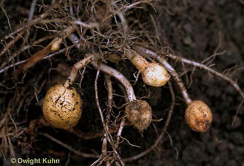 HS05-030f  Potato - developing underground
