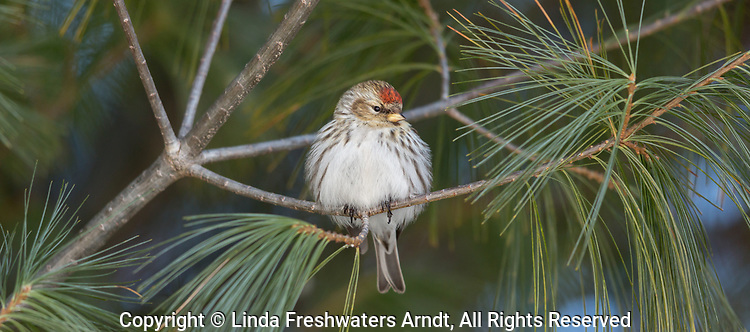 Female common redpoll fluffing up her feathers during some cold weather.