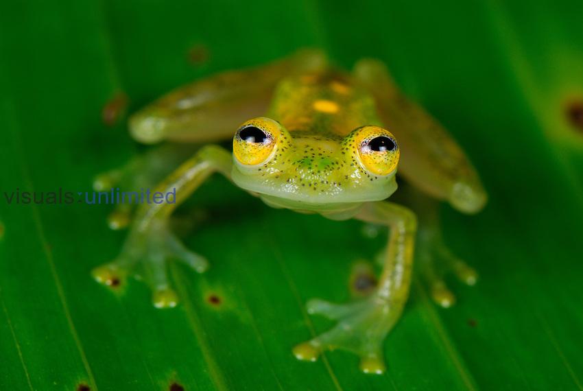 Male Fleischmann's Glass Frog (Hyalinobatrachium fleischmanni), San Cipriano Reserve, Cauca, Colombia