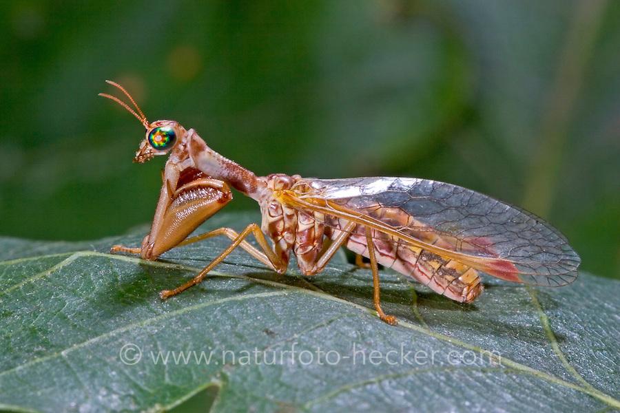Fanghaft, Steirische Fanghaft, Mantispa styriaca, syn. Poda pagana, syn. Mantispa pagana, Fanghafte, Mantispidae, mantidfly, mantis fly, mantispid, mantid lacewing, mantis-fly, mantis flies, mantidflies, mantispids, mantid lacewings or mantis-flies, Neuroptera, Planipennia, Mantispe de Styrie
