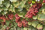 Israel, Shephelah, Grapes in Moshav Lachish