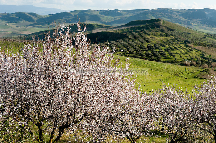 Rural landscape with blossoming almond trees and olive groves, near Grisi Monreale, Sicily, Italy
