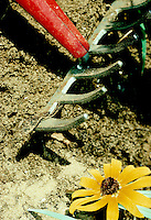Soil and garden rake, with daisy flower, tilling the ground