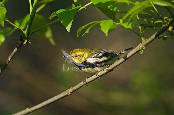 Black-throated Green Warbler (Dendroica virens) male sings in mixed forest along Lake Erie shoreline near Canada and USA border during annual spring migration northward to summer breeding grounds. Some 51% of the North American population of this warbler nests in Canada's boreal forest.
