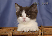 Carl, ANIMALS, photos, blue white kitten(SWLA3058,#A#) Katzen, gatos