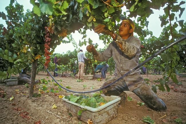 Picking chardonnay grapes near Yountville California