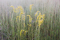 Tall Goldenrod (Solidago altissima) and Broomsedge Bluestem (Andropogon virginicus), frost coverd, Raleigh, North Carolina, USA