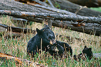 Black Bear sow plays with one of her young cubs.  Western U.S., May.