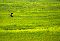 A man walking in the Rice fields rural area scenery near Battambang, Cambodia