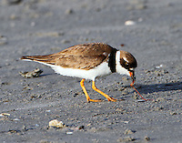 Adult male semipalmated plover in breeding plumage eating a sand worm