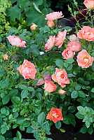 Rosa 'Tango Showground' = 'Chewpattens' (groundcover rose) =  orange roses, ground cover rose