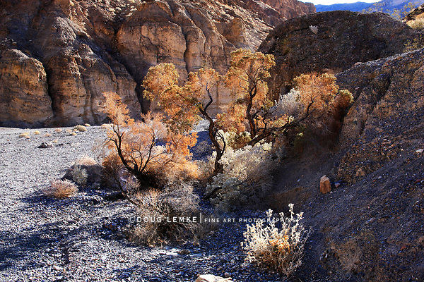 Rare Desert Vegetation Ablaze With Backlit Sunlight In Marble Canyon, Death Valley National Park, California, USA