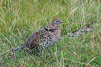 Ruffed Grouse (Bonasa umbellus).  Western U.S., Sept.