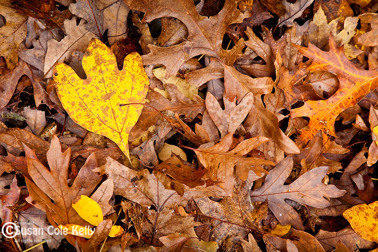 A yellow Sassafras Leaf on a bed of fallen oak leaves at Weetamoo Woods Preserve, Tiverton, RI, USA