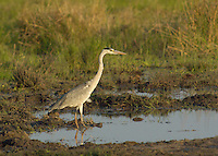 Black Crowned Heron fishing for food in the Okavango Delta, Botswana Africa