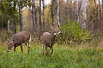 White-tailed buck and doe in northern Wisconsin.