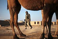 Afghanistan, 24.10.2011, Nawabad. Ein afghanischer Sodlat geht an einem Dromedar vorbei. Die in Kundus stationierte 3. Task Force (ISAF) der Bundeswehr beginnt im Oktober 2011 die mehrtaegige Operation Orpheus. Durch Patrouillen in und um die Kleinstadt Nawabad (Dirstrikt Chahar Dareh) westlich von Kundus, Nordafghanistan, versuchen die rund 100 Infanteristen Rueckzugsorte Aufstaendischer unmoeglich zu machen. Unterstuetzt werden sie dabei durch einen Zug afghanischer Soldaten. An afghan soldiers passes by a dromedary. In October 2011 Kunduz based 3.Task Force started a several days operation in and around Nawabad (District Chahar Dareh), west of Kunduz, northern Afghanistan. During the Operation Orpheus about 100 german infantry soldiers went out for patrols through the town and surrounding areas, which were expected as a retreat zone of insurgents. A platoon of afghan soldiers supports the german forces. © Timo Vogt/Est&Ost, NO MODEL RELEASE !!