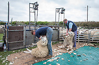 Shearing sheep - May, Norfolk