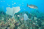 Gardens of the Queen, Cuba; a Black Grouper fish with dark, marbled patterning swimming over the coral reef