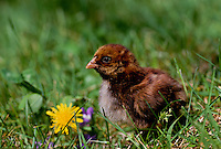 Brown chick in grass beside blooming dandilion flower in spring, Maine USA