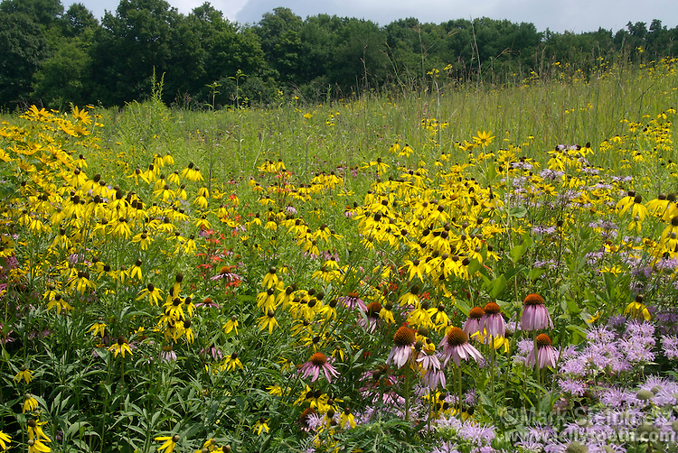 "Tallgrass prairie cross-section in full bloom, dominated by Yellow and Purple Coneflower (Ratibida pinnata & Echnicaea purpurea), Wild Bergamot (Monarda fistulosa), Royal Catchfly (Silene regia), Early Sunflower (Heliopsis helainthoides), and Big Bluestem (Andropogon Gerardi - tall grass with ""turkey foot"" inflorescence). Prairie Dock and various sunflower and grass species starting to bloom in background."