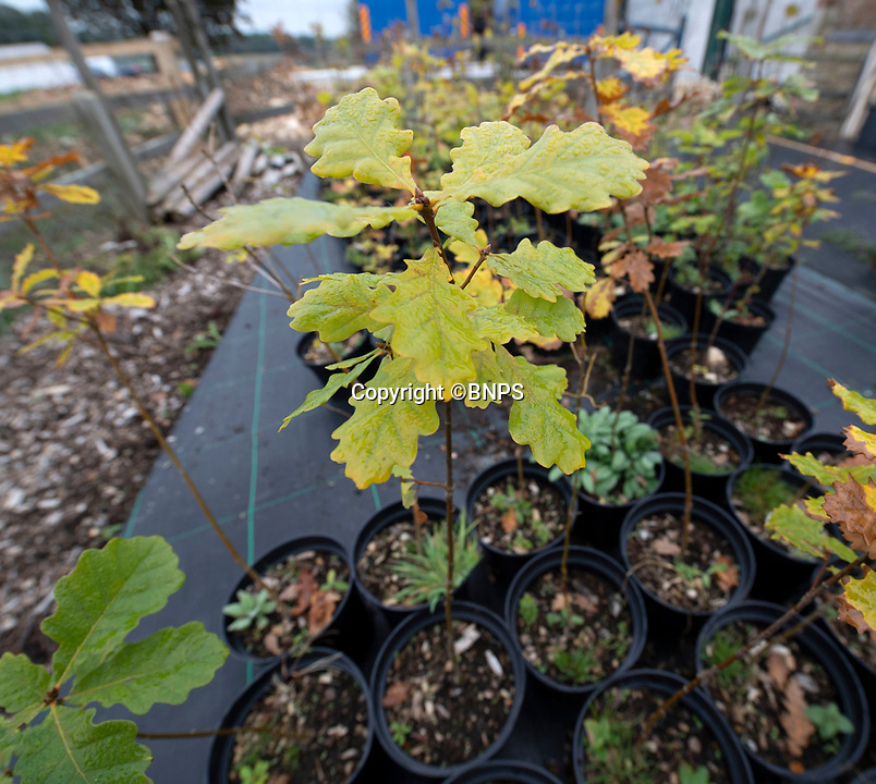 BNPS.co.uk (01202 558833)<br /> Pic: PhilYeomans/BNPS<br /> <br /> Oak saplings from the ancient oaks.<br /> <br /> Ancient oaks harvested for tiny acorns...<br /> <br /> Foresters at Blenheim Palace have painstakingly gathered 3,000 acorns in a bid to guarantee the future of Europe's largest gathering of ancient oak trees.<br /> <br /> They were picked up in High Park, a wooded area of the 2,000 acre Blenheim Estate in Oxon, Sir Winston Churchill's birthplace.<br /> <br /> It was originally created by Henry I as a deer park in the 12th century, with some surviving trees still standing 900 years on.<br /> <br /> The tiny oaks are currently being raised in glasshouses and small plantations and will eventually be planted across the estate.<br />  <br /> It is hoped the saplings, all direct descendants of the original trees, will help ensure the legacy of Blenheim's ancient oaks lives on for centuries to come.