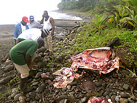 poacher, local authorities examine a poached leatherback sea turtle, Dermochelys coriacea, poached after it attempted to nest, note eggs, Dominica, Caribbean, Atlantic